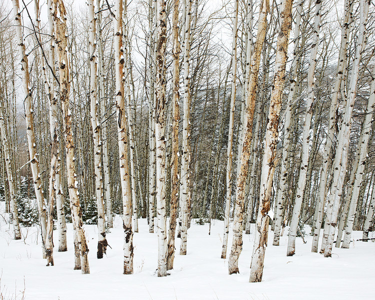 Deer Valley Snowy Aspens2