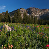 Albion Basin Summer Bloom