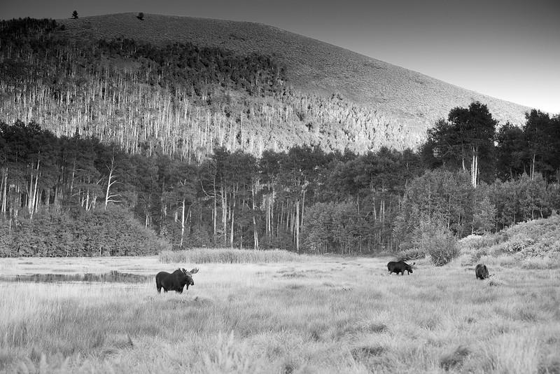 Tri Moose