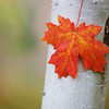 Aspen Maple Leaf 2