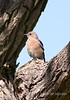 Female Bluebird, Easthuff Park, Newport Beach, CA