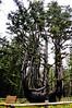 Cape Meares Octopus Tree