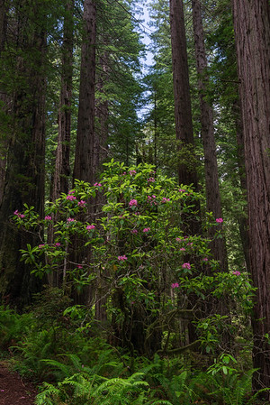 Rhododendrons among the Redwoods: Damnation Creek Trail in Del Norte Coast Redwood State Park, CA. 3rd place in Nature Prints, N4C, Sept 2017.