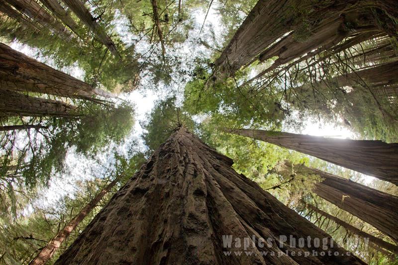 Oregon-Redwood-7209