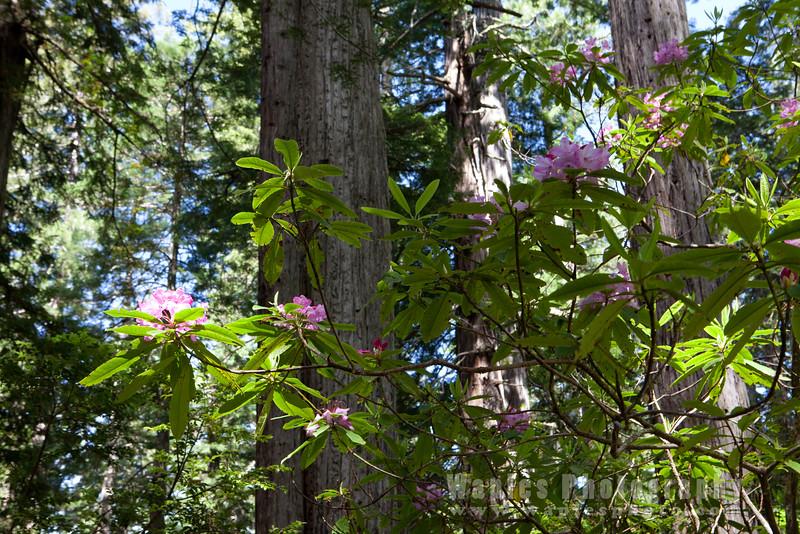 Oregon-Redwood-7456