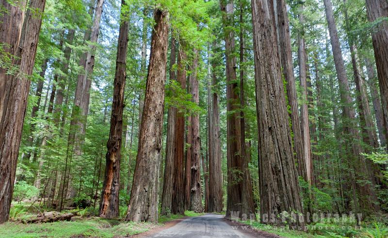 Oregon-Redwood-7624