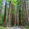 Oregon-Redwood-7624