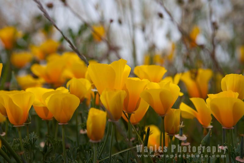 Oregon-Redwood-7587