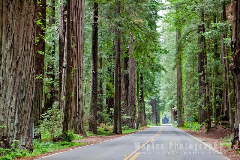 Oregon-Redwood-7625