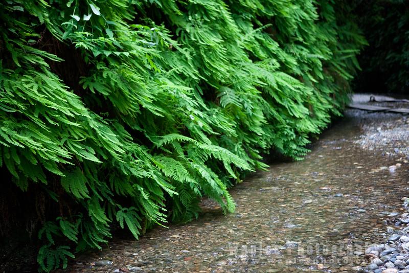 Oregon-Redwood-7711
