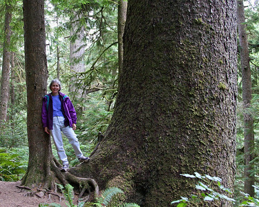 Old growth Sitka Spruce on the Falcon Point trail.
