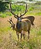Elk - Praire Creek State Park