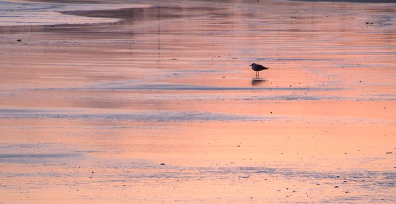 Lone Bird -Golden Reflections -  Crescent Beach, CA