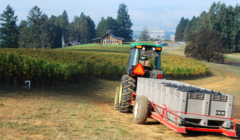 Soter Mineral Springs Vineyard harvest 2008