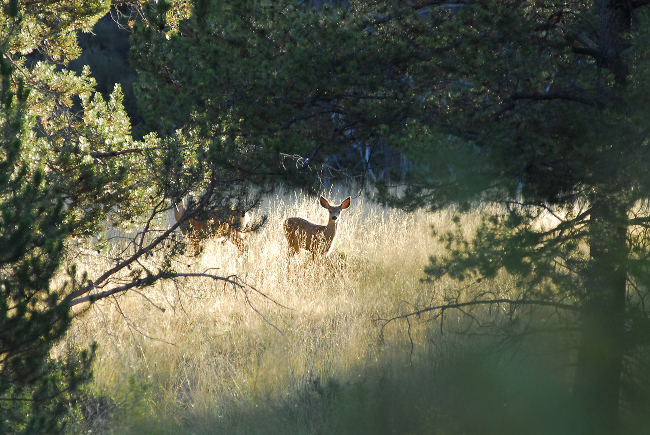 Curious deer, LaPine State Park