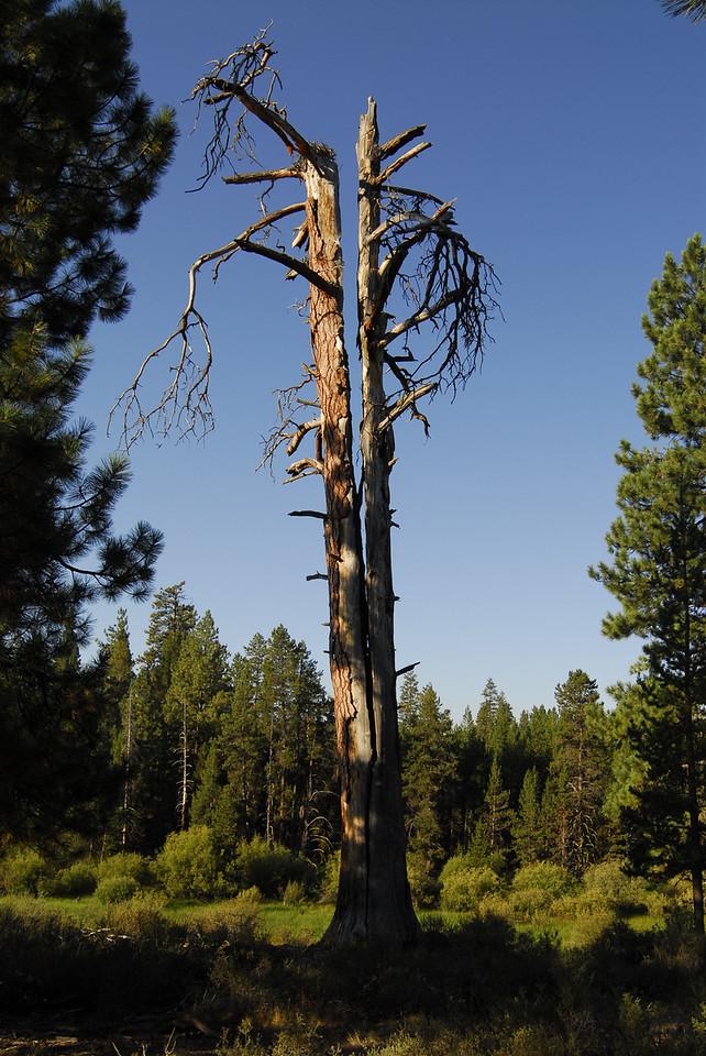 Split tree, LaPine State Park
