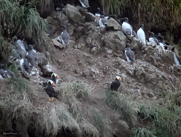 Tufted Puffins And Muirs Of Haystack Rock