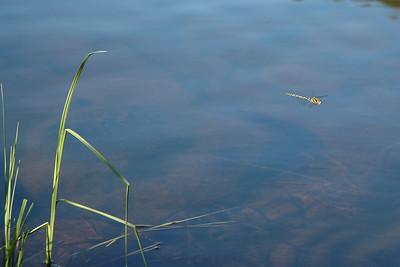Mirror Pond Firefly