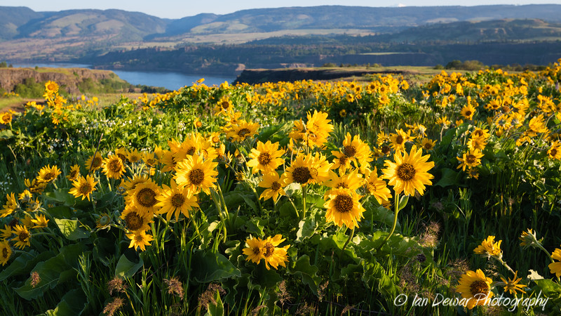 Columbia Gorge Bloom