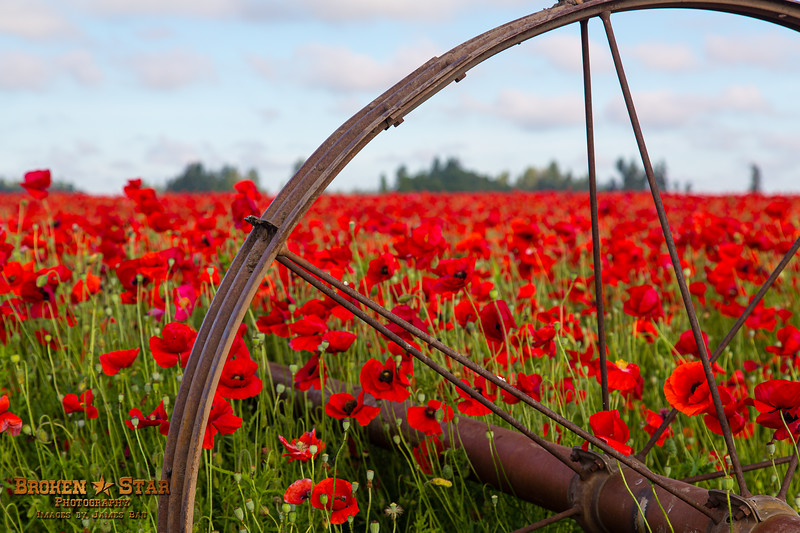 Poppy field near Silverton, Oregon
