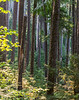 The largest old growth forest in the Cascades