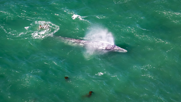 Gray Whale in Oregon Waters