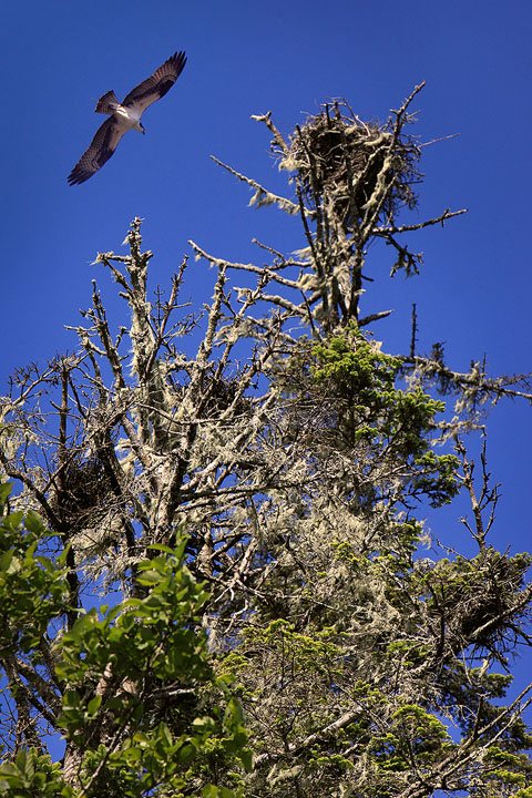 Osprey flying above nest over the Rogue River in Oregon