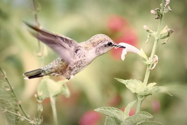 Hummingbird<br /> 2017