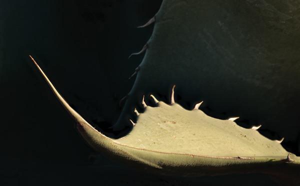 Agave leaves<br /> 2018