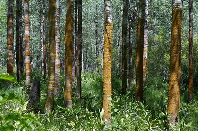 """""""Trees"""" Lake Tahoe, California"""