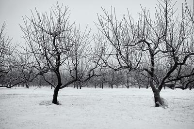 20150104.   Apple trees on Oak Hill Road, Harvard MA.
