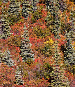 Conifers among Fall Colors