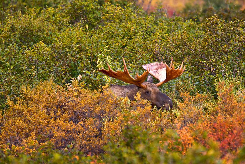 A Bull Moose hiding in shrubs