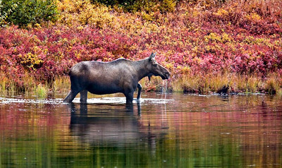 Cow Moose in a Kettle Pond