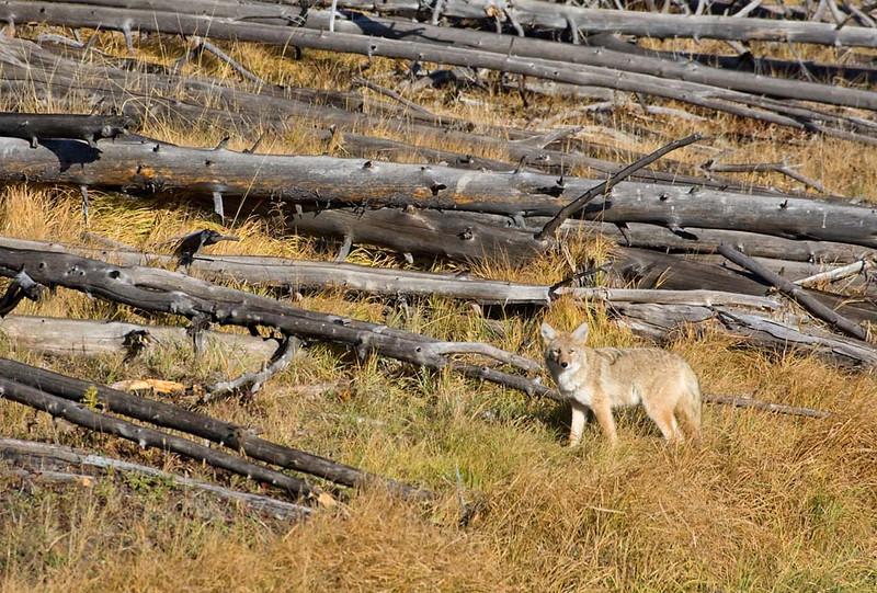The Stare of Coyote