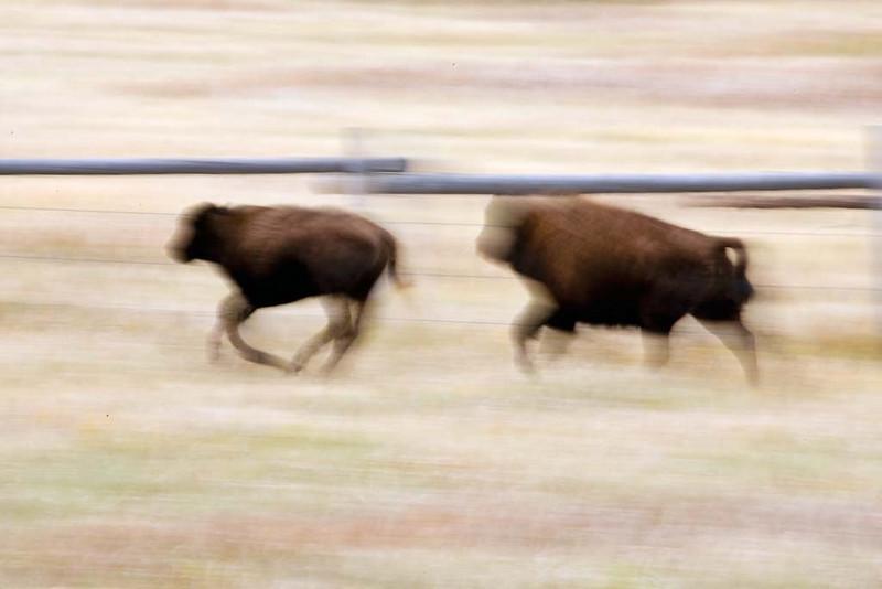 Bison running after Calf