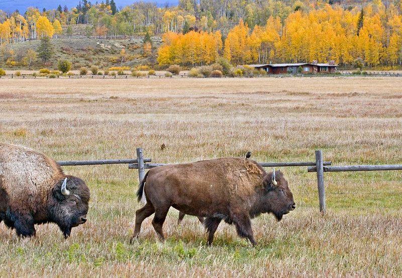 Bison with a free loader