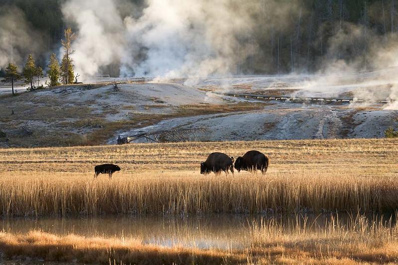 Roaming Buffalos in Yellowstone NP
