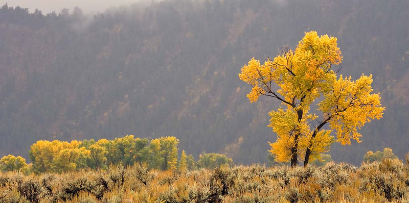 Cottonwood in the