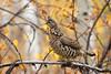 Female Common Pheasant, Phasianus Colchiacus