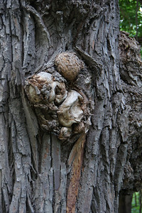 It looked like skulls stuck in the tree. Pike Island, Fort Snelling State Park, Minnesota