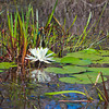 """Water Lily""<br /> Okefenokee Swamp<br /> Folkston, GA"