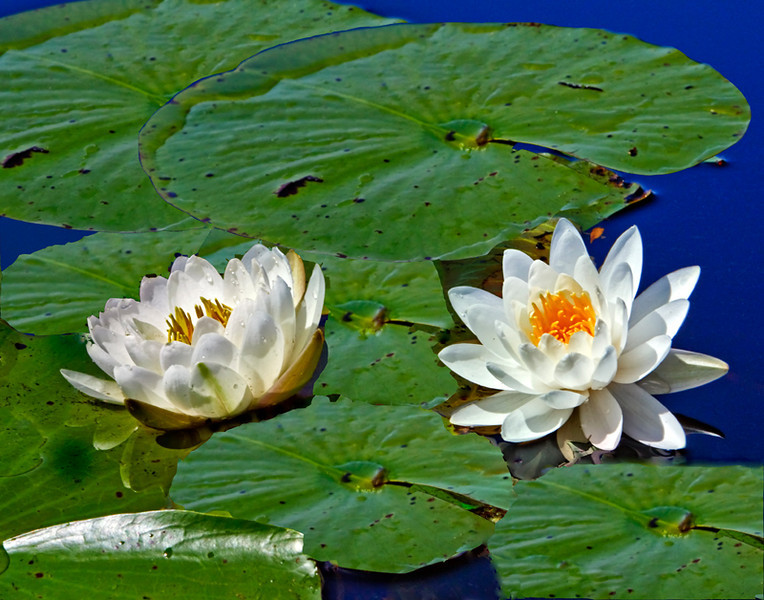 """Water Lilies & Lily Pads""<br /> Okefenokee Swamp<br /> Folkston, GA"