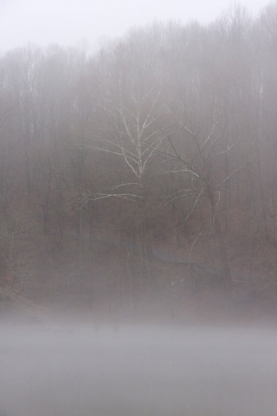 Sycamore showing through the fog.
