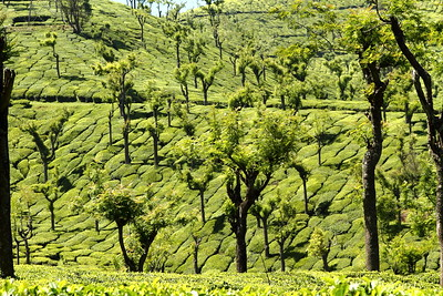 """Nilgiris Green Velvet"" Tea plantations on Nilgiris hills of south India shimmer with multiple shades of green. #74111301  © Payam Nashery - Photoarts"