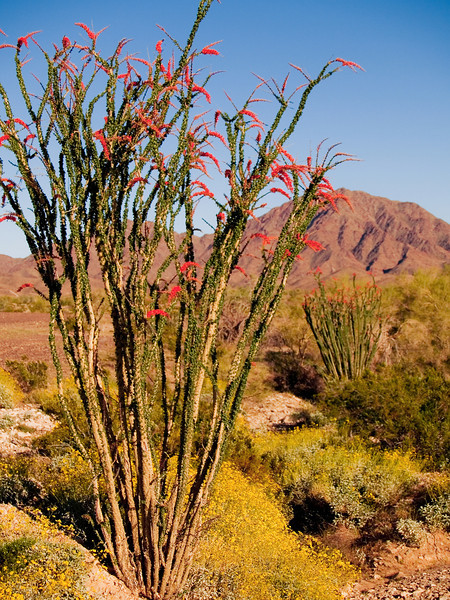 Ocotillo cactus near Yuma Arizona