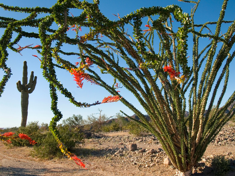 Ocotillo and Giant Saquaro Cactus near Yuma Arizona