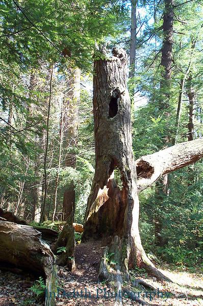 Swallow Falls Hollow Tree
