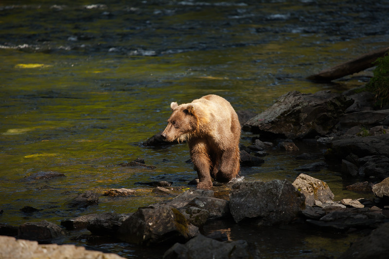 Brown bear approaching on the Russian River.