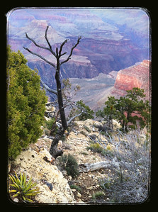 Dead Tree on South Rim iPhone image